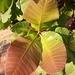 Anacardium humile - Photo (c) Laurent Quéno, all rights reserved