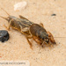 Northern Mole Cricket - Photo (c) John and Kendra Abbott, all rights reserved, uploaded by John Abbott