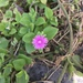 Heart-leaf Ice Plant - Photo (c) rcabrerag, all rights reserved