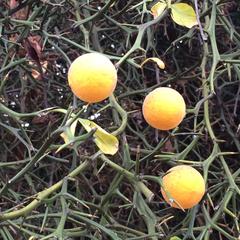 Image of Citrus trifoliata