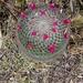 Mammillaria rhodantha mollendorffiana - Photo (c) Maricruz Medina, all rights reserved
