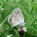 Mariposa Azul del Mezquite - Photo (c) Victor Fazio, todos los derechos reservados, uploaded by Victor W Fazio III