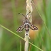 Thrift Clearwing - Photo (c) Nigel Voaden, all rights reserved