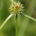 Shortleaf Spikesedge - Photo (c) Doug and Katrina, all rights reserved