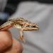 Erlanger's Grassland Frog - Photo (c) César Andrés Castillo, all rights reserved