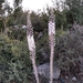 Drimia aphylla - Photo (c) wojtest, todos los derechos reservados