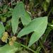 Sagittaria australis - Photo (c) Doug Mitchell, todos los derechos reservados
