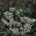 Eupatorium rotundifolium scabridum - Photo (c) Eric Hunt, kaikki oikeudet pidätetään