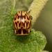 Strichosa eburata - Photo (c) Patrich Cerpa, all rights reserved