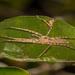 Oxysoma punctatum - Photo (c) Patrich Cerpa, todos los derechos reservados