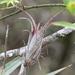 Tillandsia flexuosa - Photo (c) Jay L. Keller, todos los derechos reservados