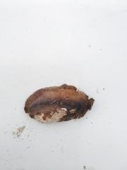 Unio mancus image