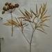 Peucedanum gallicum - Photo (c) Crap Fou, kaikki oikeudet pidätetään