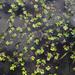 Marsilea ancylopoda - Photo (c) jmanuelgbasurto, כל הזכויות שמורות