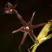 Solaria atropurpurea - Photo (c) Patrich Cerpa, all rights reserved