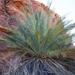 Macrozamia macdonnellii - Photo (c) Fitzpatrick Lab, todos los derechos reservados