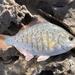 Embiotocidae - Photo (c) p-m, todos los derechos reservados