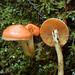 Pyrrhulomyces astragalinus - Photo (c) Trent Pearce, όλα τα δικαιώματα διατηρούνται