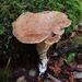 Jahnoporus hirtus - Photo (c) Trent Pearce, all rights reserved