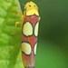 Erythrogonia priscilla - Photo (c) Jon Church, kaikki oikeudet pidätetään