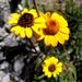 Heliopsis parvifolia - Photo (c) Lex García, todos los derechos reservados