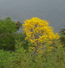 Handroanthus chrysanthus image