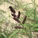 דוחנית השלחין - Photo (c) fstfwd52, כל הזכויות שמורות