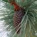 Montezuma Pine - Photo (c) Lex García, all rights reserved