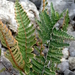 Notholaena galeottii - Photo (c) Lex García, all rights reserved