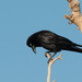 Little Crow - Photo (c) Rolf Lawrenz, all rights reserved