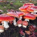 Fly Agaric - Photo (c) cactusdan, all rights reserved
