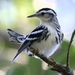 Black-and-white Warbler - Photo (c) Jay L. Keller, all rights reserved