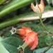 Trigona ferricauda - Photo (c) bejatmccracken, todos los derechos reservados