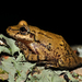 Argentine Snouted Tree Frog - Photo (c) pedroivosimoes, all rights reserved