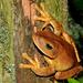 Blacksmith Tree Frog - Photo (c) pedroivosimoes, all rights reserved