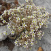 Thick-leaved Stonecrop - Photo (c) Tig, all rights reserved