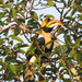 Great Hornbill - Photo (c) Marina, all rights reserved