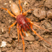 Woodlouse Spider - Photo (c) Patrich Cerpa, all rights reserved