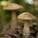 Leccinum alaskanum - Photo (c) leftcoastnaturalist, όλα τα δικαιώματα διατηρούνται, uploaded by Trent Pearce