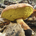 Aureoboletus flaviporus - Photo (c) leftcoastnaturalist, todos los derechos reservados, uploaded by Trent Pearce