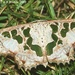 Antitrygodes - Photo (c) Roger C. Kendrick, todos los derechos reservados, uploaded by Roger Kendrick