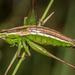 Conocephalus bilineatus - Photo (c) Danilo Hegg, todos los derechos reservados