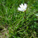 Cerastium cerastioides - Photo (c) Tig, כל הזכויות שמורות