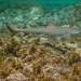 Lemon Shark - Photo (c) William Marques, all rights reserved