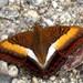 Comodoro Bicolor - Photo (c) Jatishwor Irungbam, todos los derechos reservados