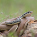 Dahl's Whip Snake - Photo (c) Bart, all rights reserved, uploaded by BJ Smit