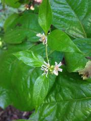 Image of Marsdenia trivirgulata