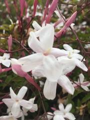 Jasminum grandiflorum image