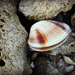 Bivalves - Photo (c) Tamsin Carlisle, all rights reserved