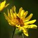 Viguiera grandiflora - Photo (c) Rodolph Delfino Sartin, all rights reserved